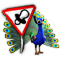 breedingmar2017_peacock_quest_big.png